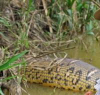 Anaconda CICRA - foto Hernán Collado
