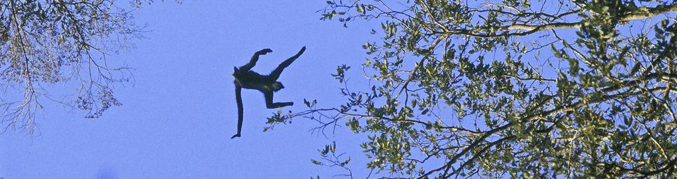 Mono araña - Foto por Daniel Huamán