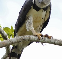 Harpy-Eagle (Harpia harpyja) - foto por Rich Hoyer