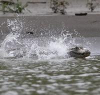 caiman blanco en rio Amigos - CICRA