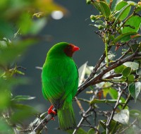 Grass-green Tanager (Chlorornis riefferii) - foto por Christian Quispe