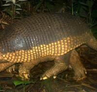 Armadillo gigante (Priodontes maximus) - Cámara trampa - monitoreo en Villa Carmen