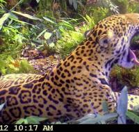 Jaguar - Cámara Trampa - Monitoreo en Villa Carmen