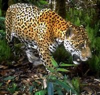 Jaguar - Cámara trampa en Monitoreo de Villa Carmen