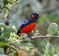 Scarlet-bellied Mountain-Tanager - foto por Francisco Llacma
