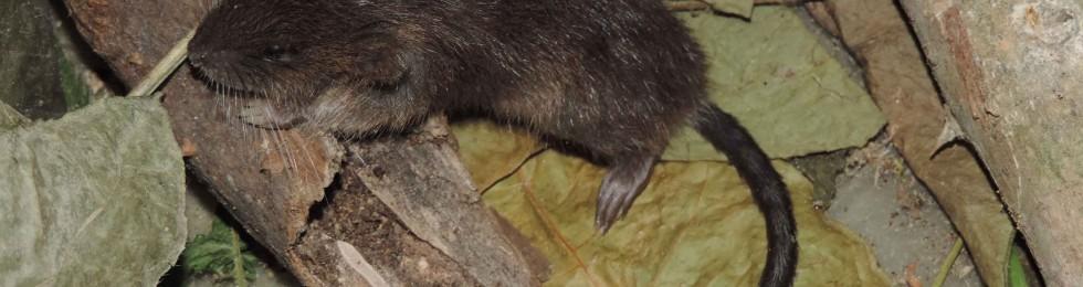 Ratón acuatico-01