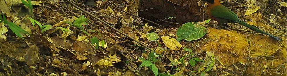 Un relojero rufo (Barypthengus martii) inspecciona una madriguera de armadillo gigante (Priodontes maximus).