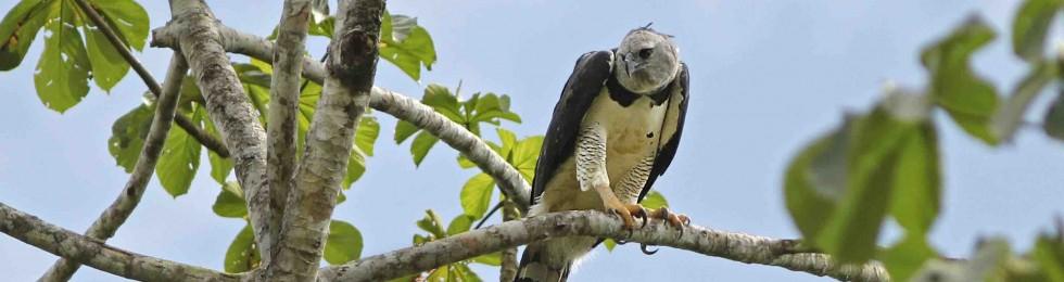 La poderosa águila arpía (Hapia harpyja) ocasionalmente necesita un descanso.