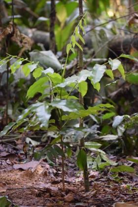 Una de las muchas plantas de semillero de shihuahuaco (Diptheryx micrantha) que se plantan en toda la estación