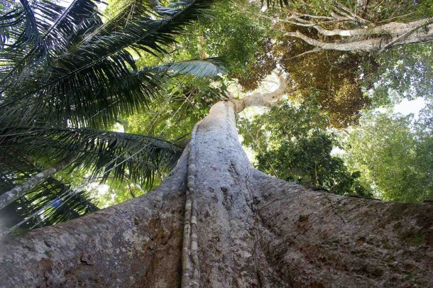 Un solo árbol de shihuahuaco (Diptheryx micrantha) podría secuestrar un tercio de todo el carbono almacenado en una hectárea de bosque primario.