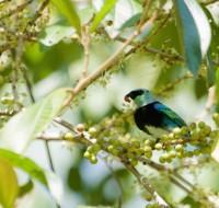 La tangara enmascarada (Tangara nigrocincta) se encuentra entre las aves que se alimentan de frutas dentro del bosque tropical. PC: Will Sweet