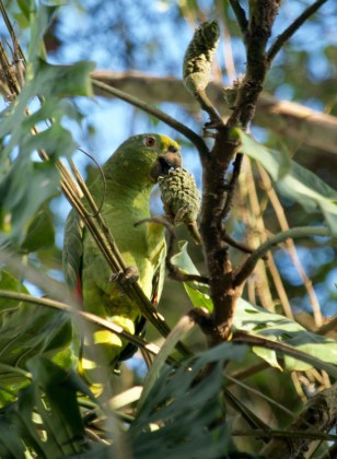 Loro de corona amarilla (Amazona ochrocephala) aprovechando las pocas frutas que quedan al final de la temporada de lluvia. PC: Will Sweet