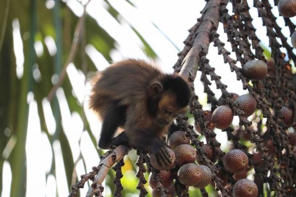 El aguaje (Mauritia flexuosa) es una de las principales fuentes de alimento durante todo el año. Foto: Mono capuchino pardo (Cebus apella) / PC: Claudia Roar